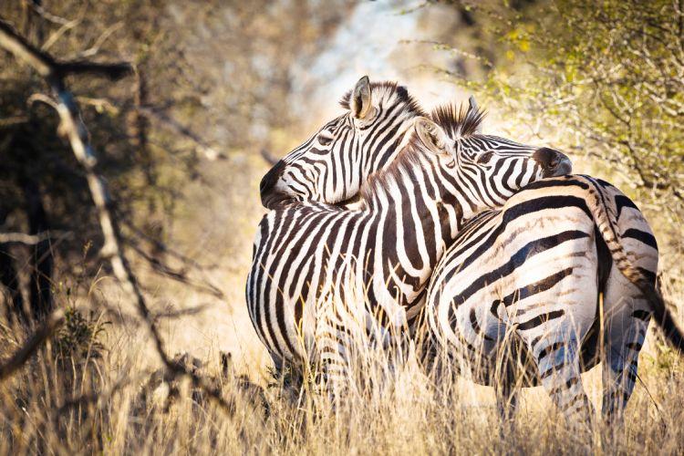 Zèbres dans le parc national Kruger