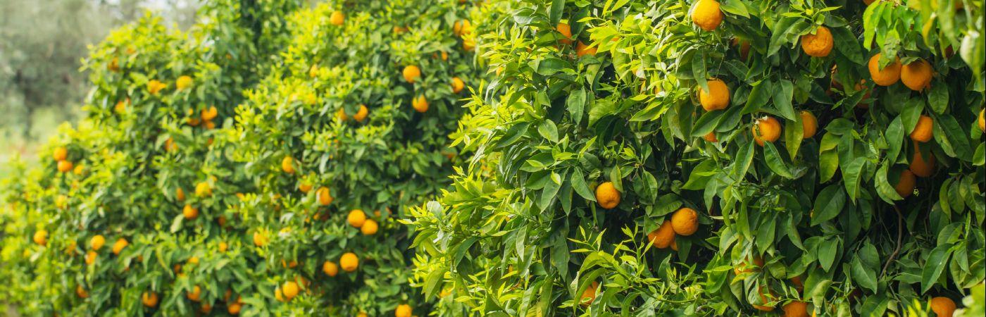 Orangers en Espagne
